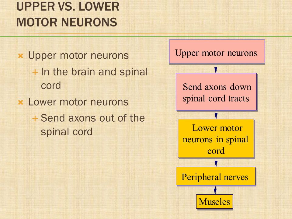 Chapter 36 disorders of neuromuscular function ppt video for Lower motor neuron diseases