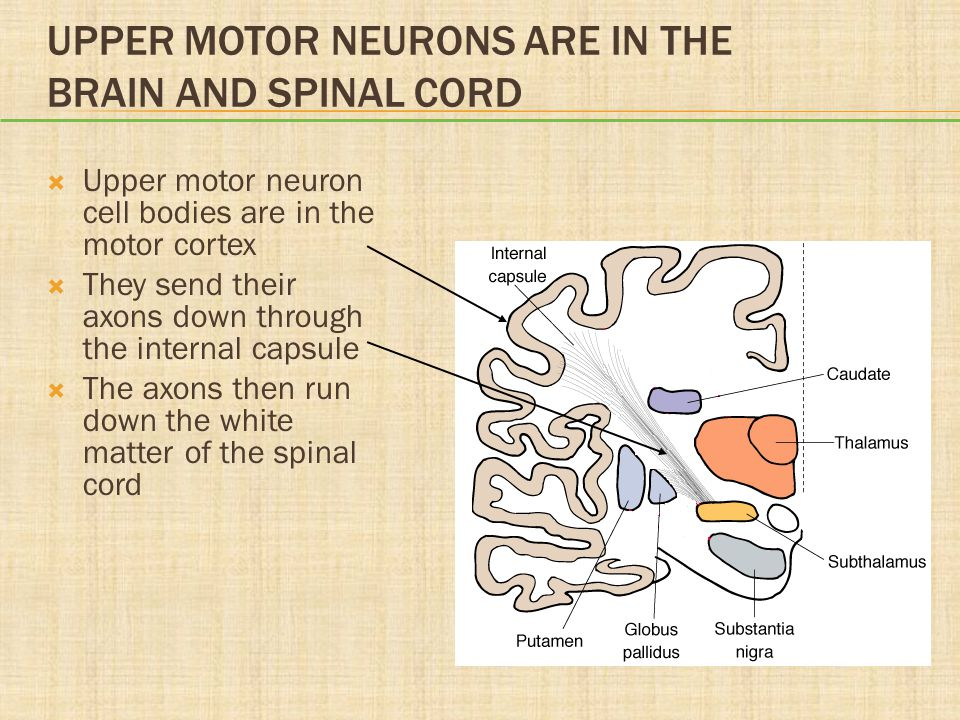 Upper Motor Neurons Are in the Brain and Spinal Cord