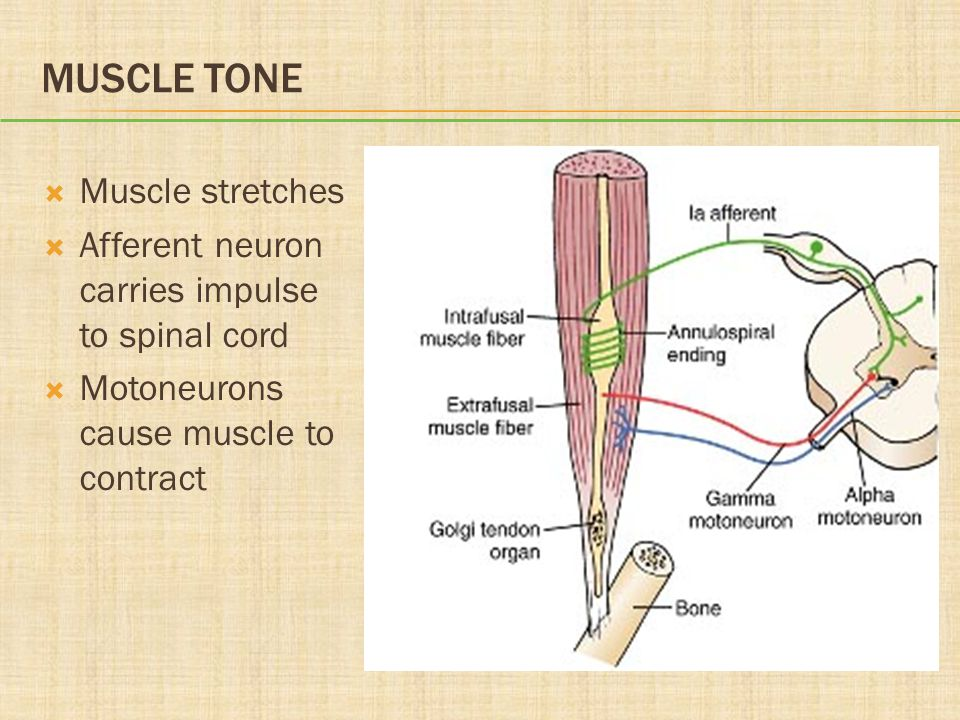 Muscle Tone Muscle stretches
