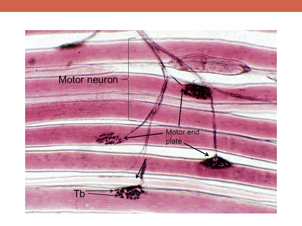 Motor neuron Tb Motor end plate MEP- motor end plate