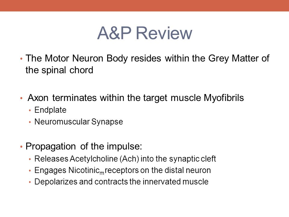 A&P Review The Motor Neuron Body resides within the Grey Matter of the spinal chord. Axon terminates within the target muscle Myofibrils.