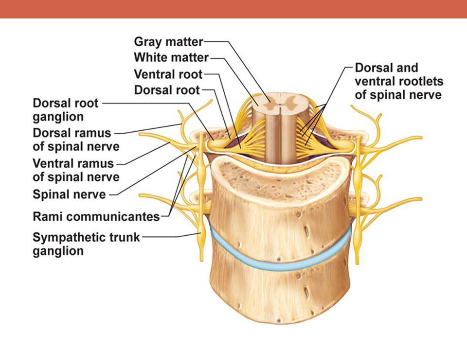 Ventral= motor, Dorsal= sensory