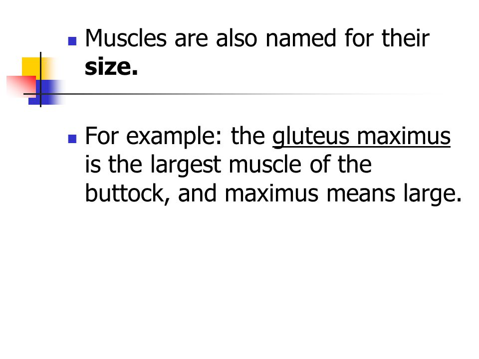 Muscles are also named for their size.