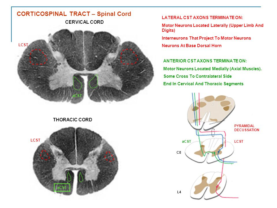 CORTICOSPINAL TRACT – Spinal Cord