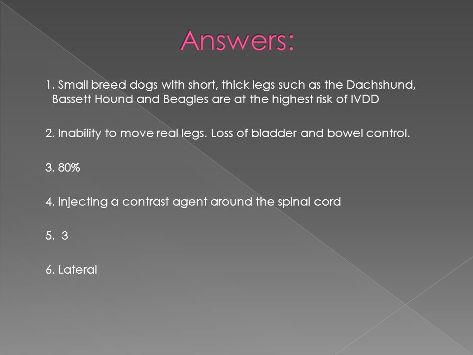 Answers: 1. Small breed dogs with short, thick legs such as the Dachshund, Bassett Hound and Beagles are at the highest risk of IVDD.