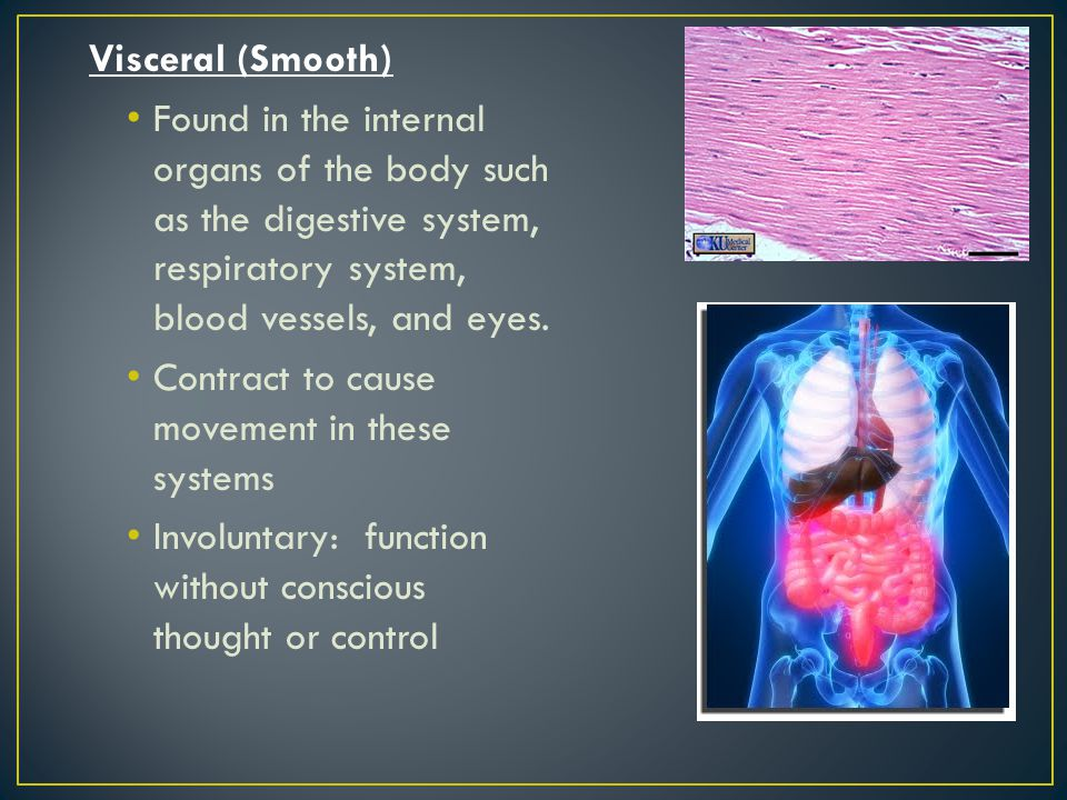 Visceral (Smooth) Found in the internal organs of the body such as the digestive system, respiratory system, blood vessels, and eyes.