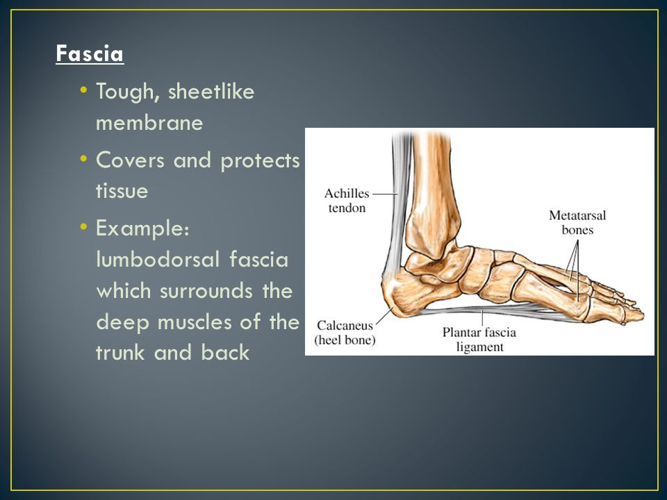 Fascia Tough, sheetlike membrane. Covers and protects tissue.
