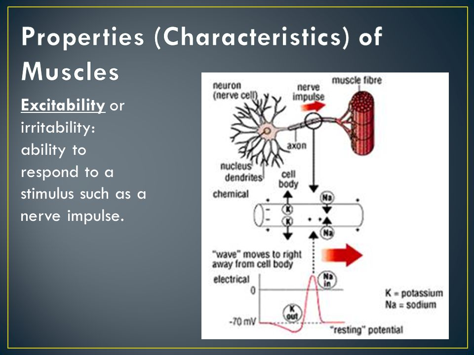 Properties (Characteristics) of Muscles