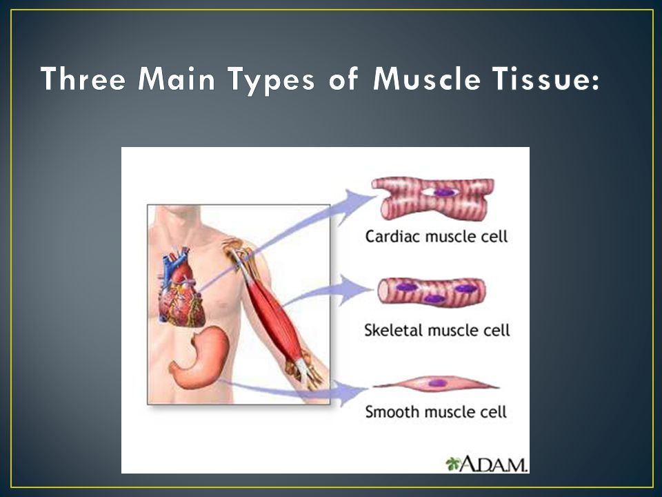 Three Main Types of Muscle Tissue: