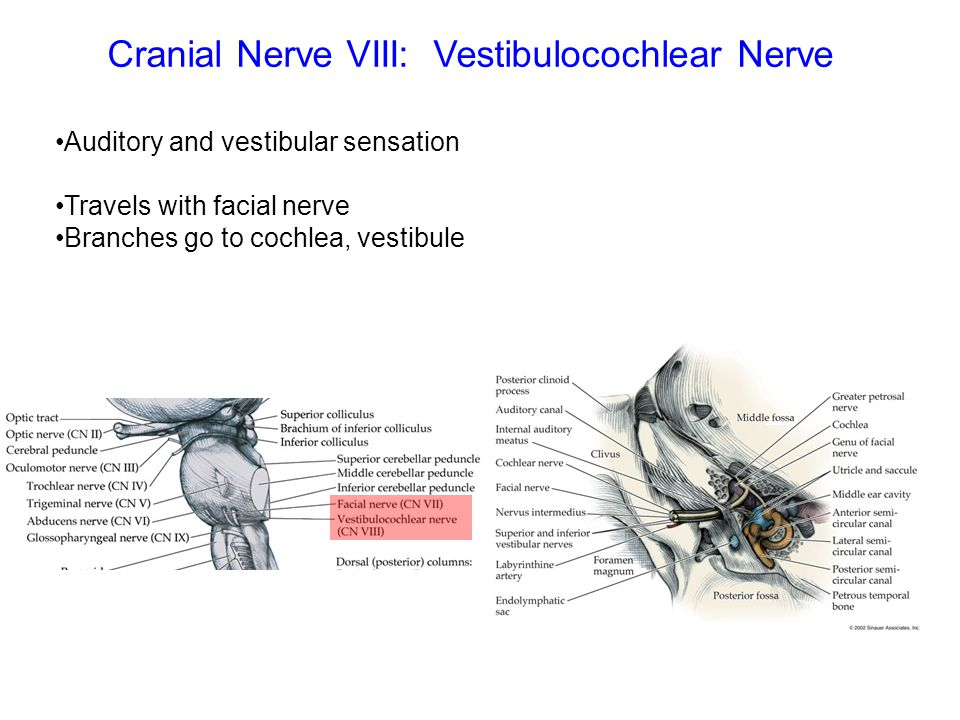 Cranial Nerve VIII: Vestibulocochlear Nerve