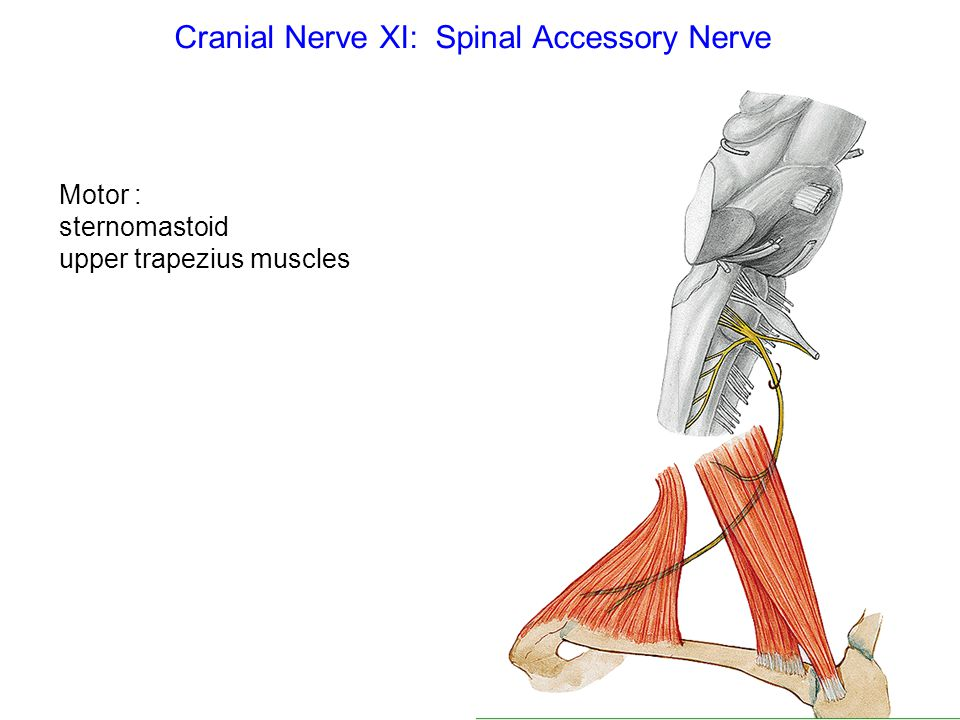 Cranial Nerve XI: Spinal Accessory Nerve