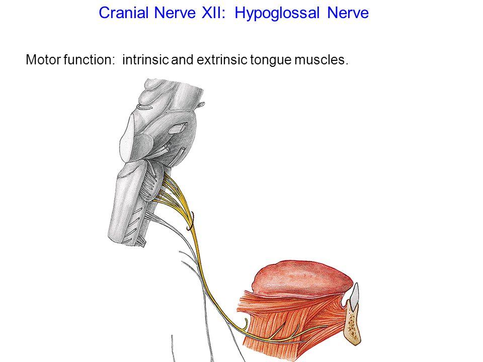 Cranial Nerve XII: Hypoglossal Nerve