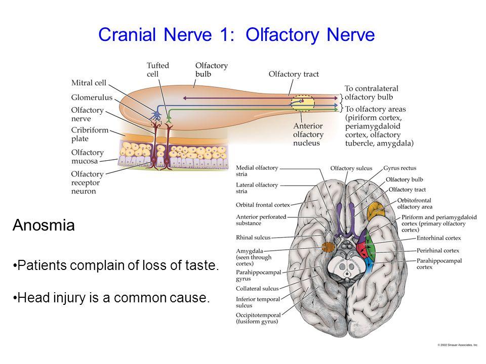 Cranial Nerve 1: Olfactory Nerve