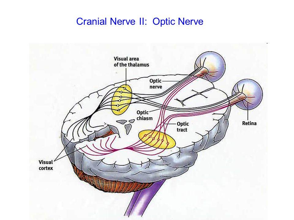 Cranial Nerve II: Optic Nerve