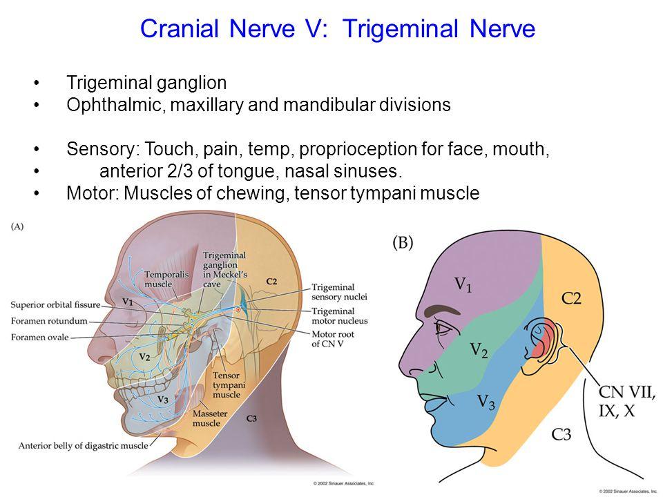 Cranial Nerve V: Trigeminal Nerve