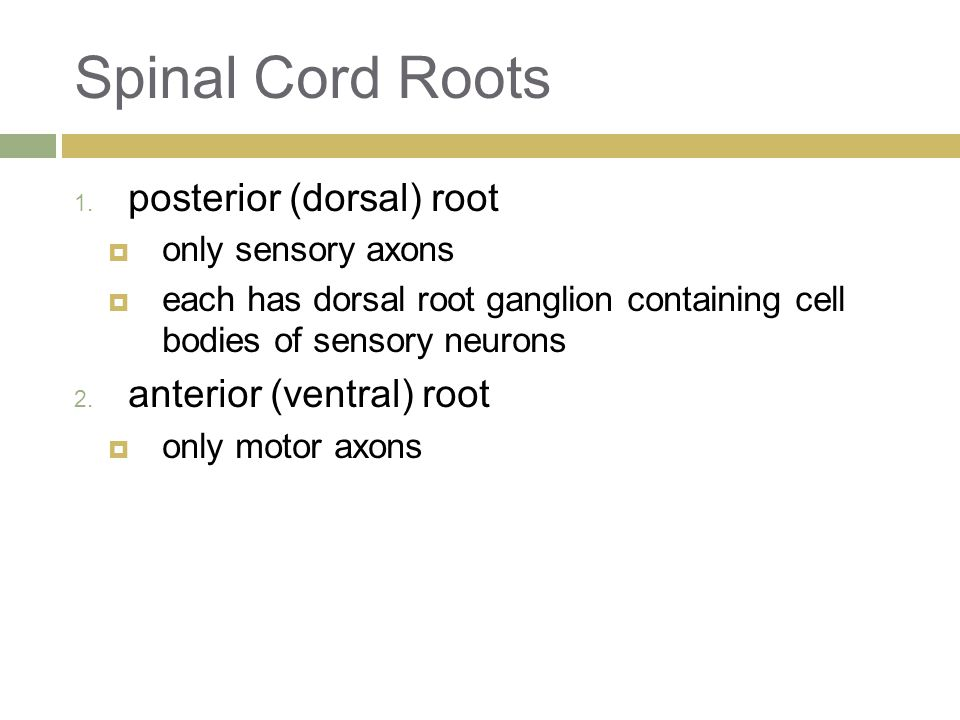 Spinal Cord Roots posterior (dorsal) root anterior (ventral) root