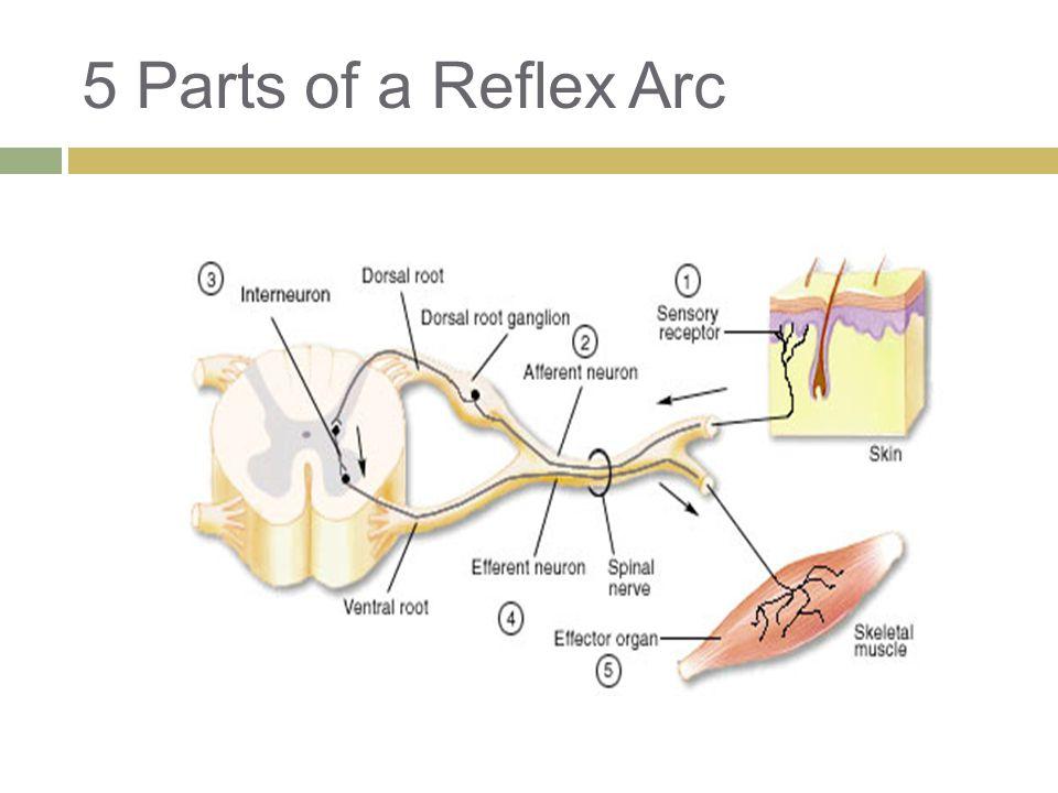 5 Parts of a Reflex Arc