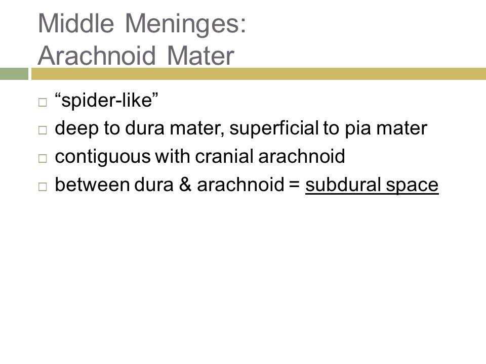 Middle Meninges: Arachnoid Mater