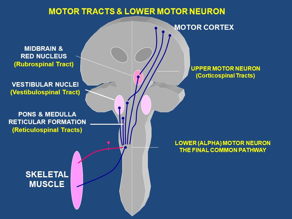 MOTOR TRACTS & LOWER MOTOR NEURON