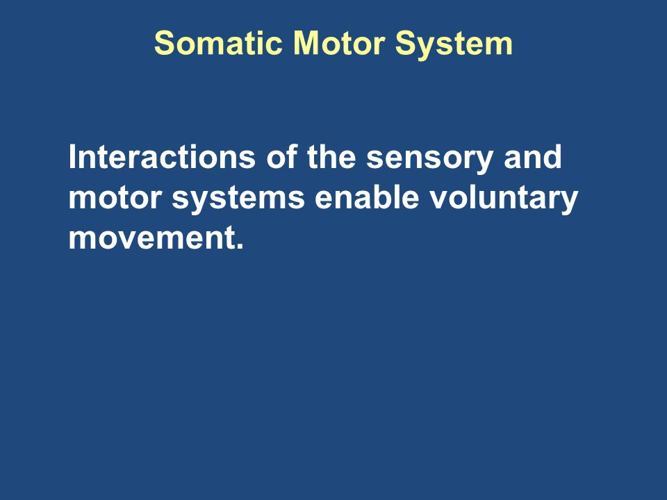 Somatic Motor System Interactions of the sensory and motor systems enable voluntary movement.