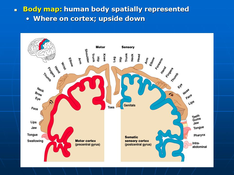 Body map: human body spatially represented
