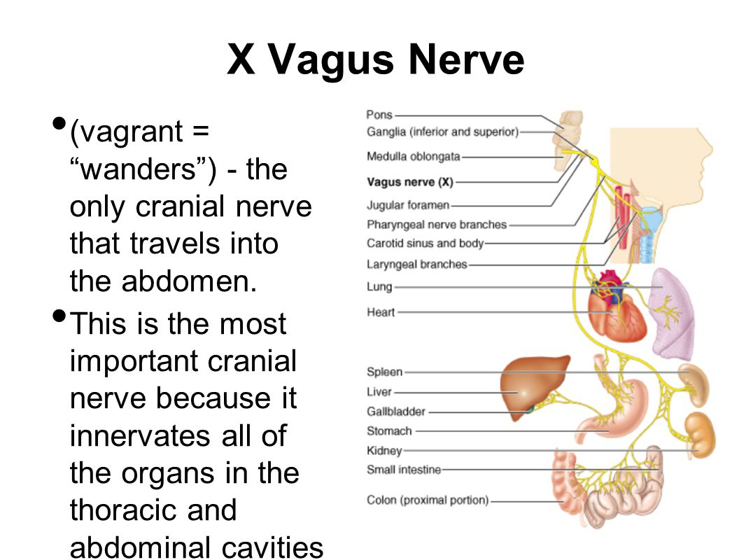X Vagus Nerve (vagrant = wanders ) - the only cranial nerve that travels into the abdomen.