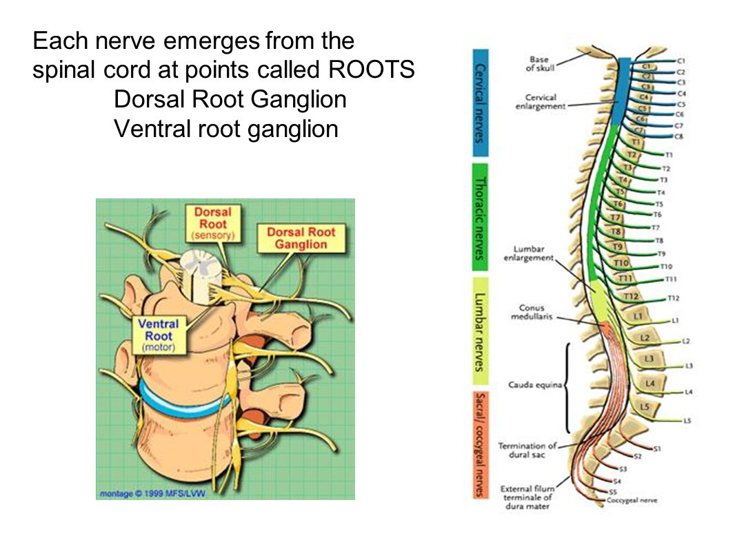 Each nerve emerges from the spinal cord at points called ROOTS