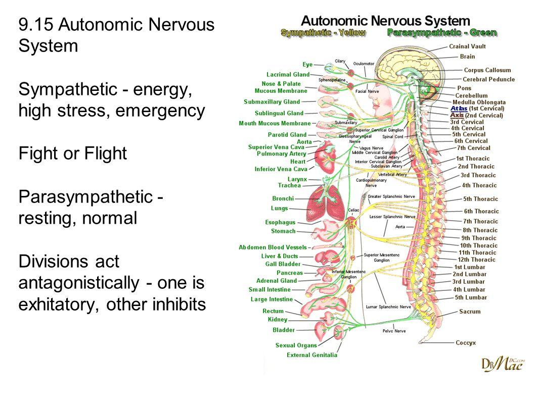 9.15 Autonomic Nervous System