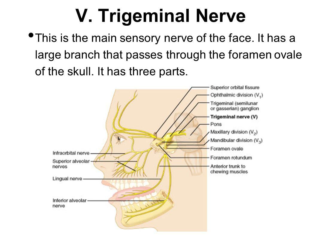 V. Trigeminal Nerve