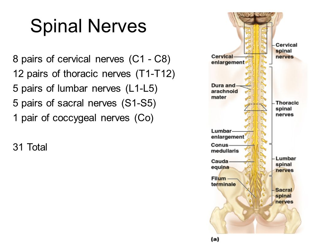 *Spinal cords end at the level between the 1st and 2nd lumbar vertebrae