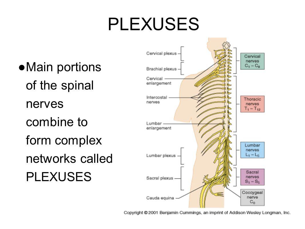 1. Cervical Plexuses - neck