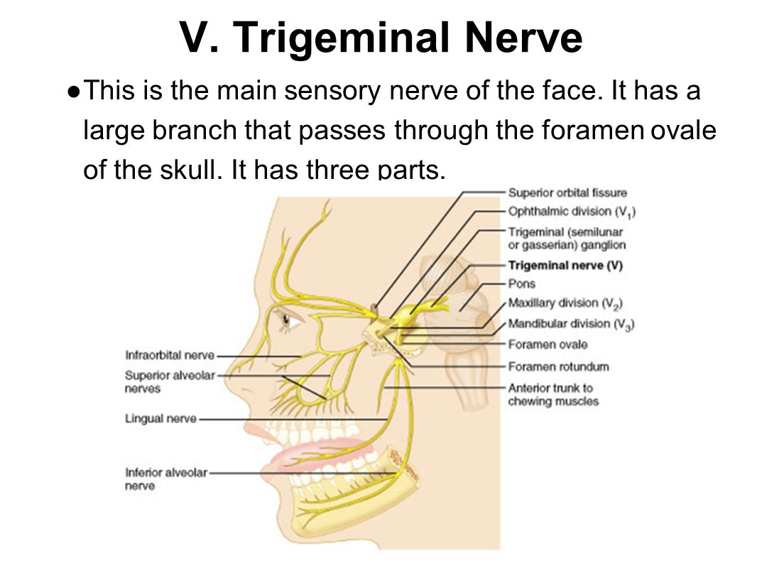 VI: Abducens Controls one of the eye muscles (lateral rectus).