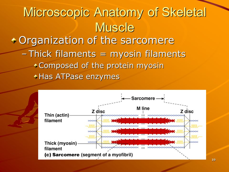 Microscopic Anatomy of Skeletal Muscle
