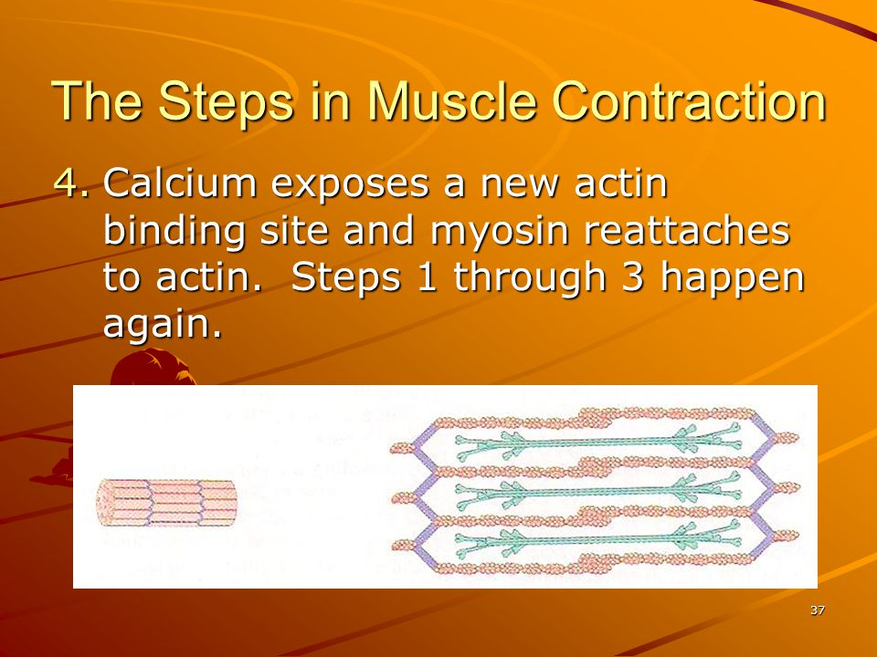 The Steps in Muscle Contraction