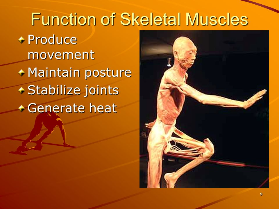 Function of Skeletal Muscles
