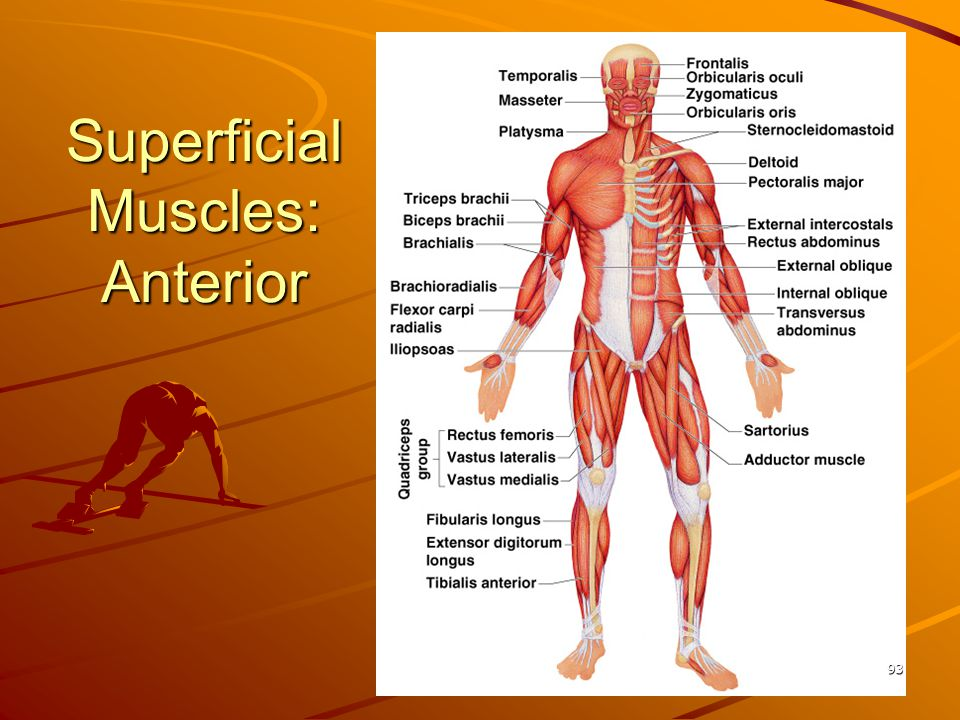 Superficial Muscles: Anterior