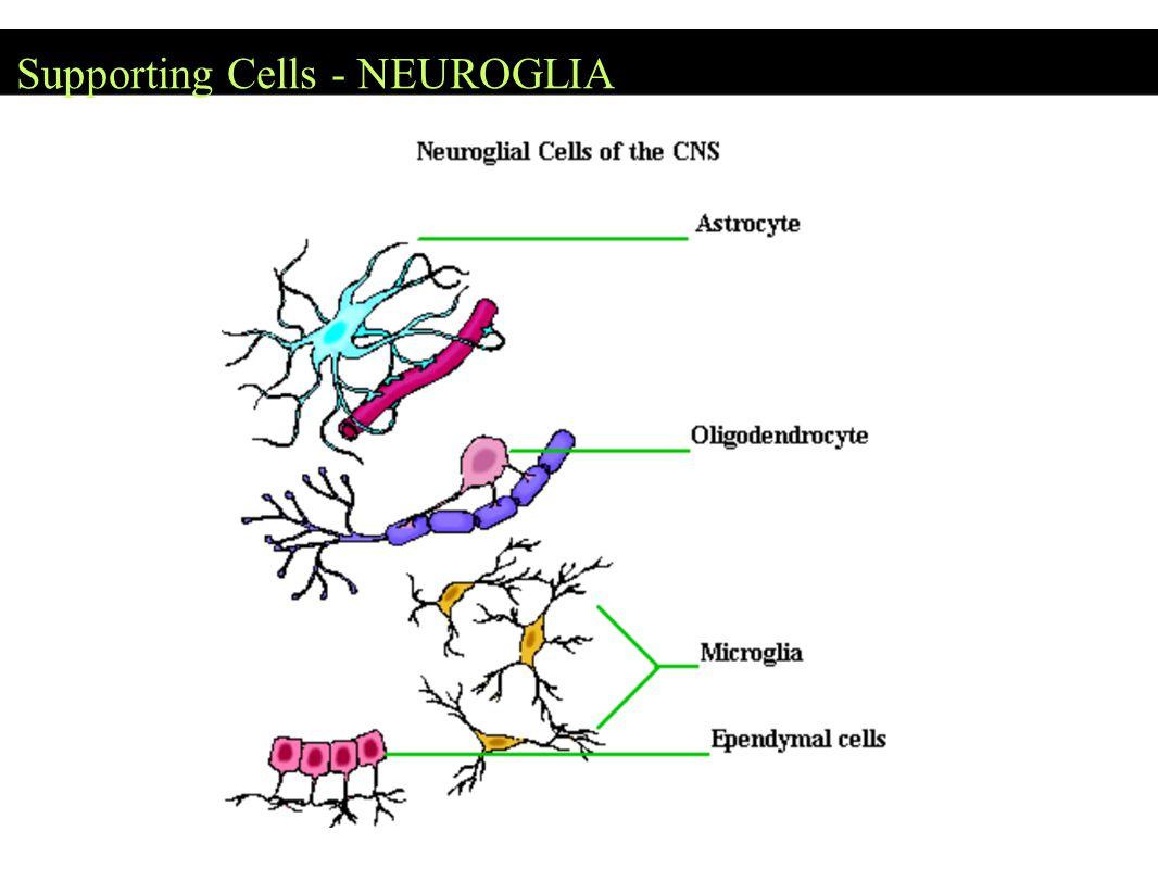 Supporting Cells - NEUROGLIA