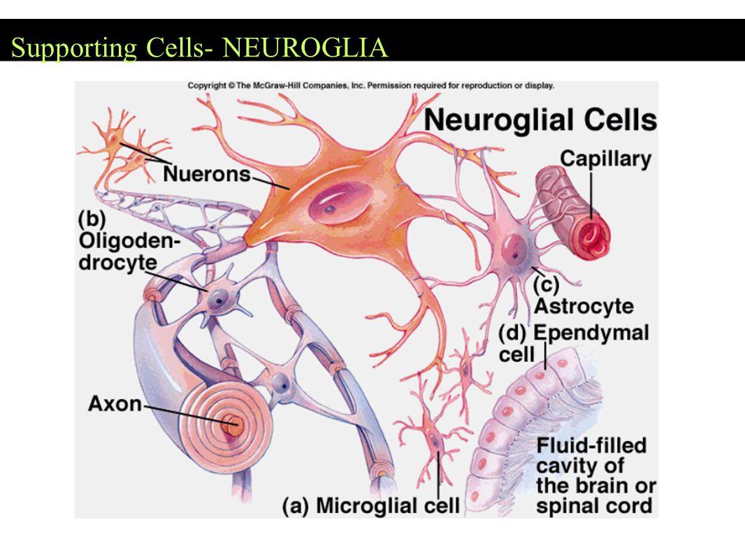 Supporting Cells- NEUROGLIA