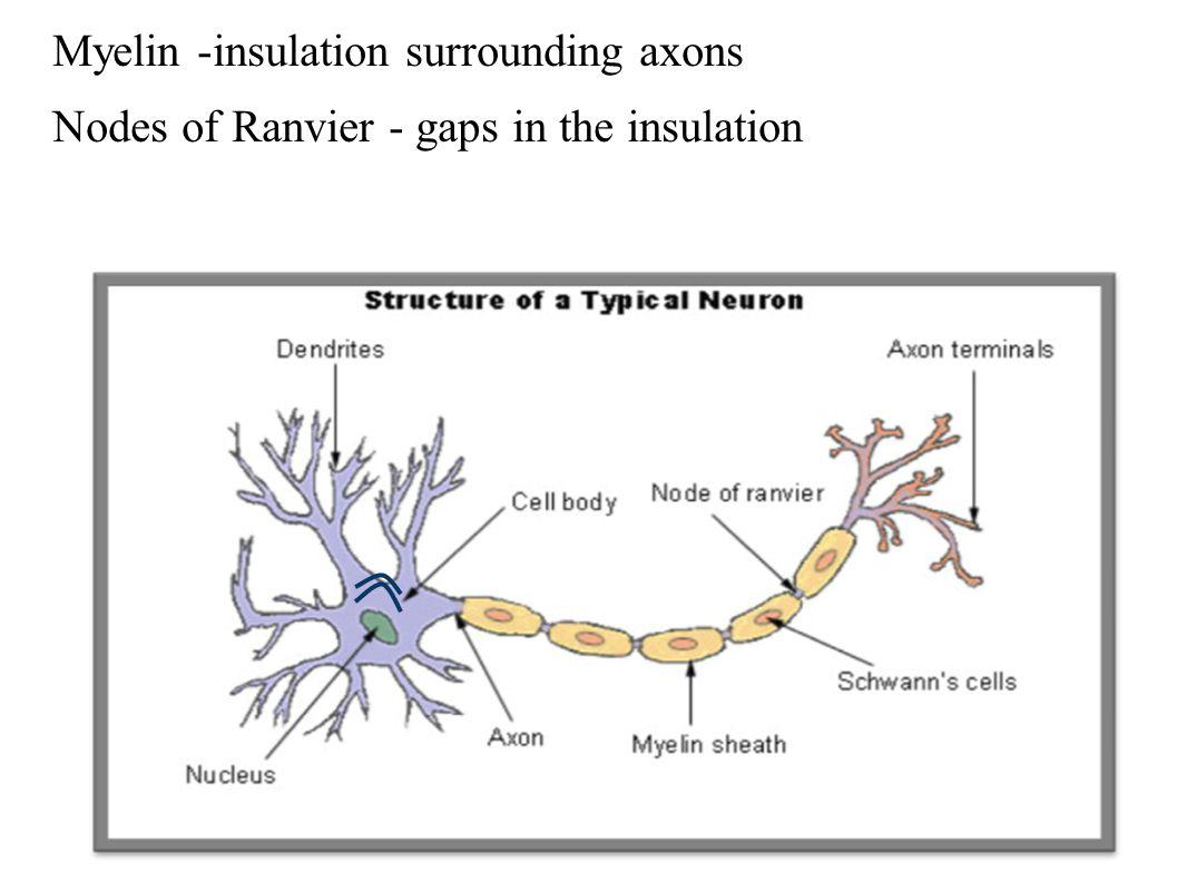 Myelin -insulation surrounding axons