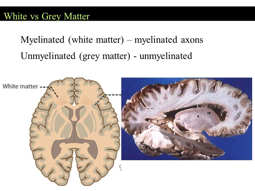 White vs Grey Matter Myelinated (white matter) – myelinated axons.