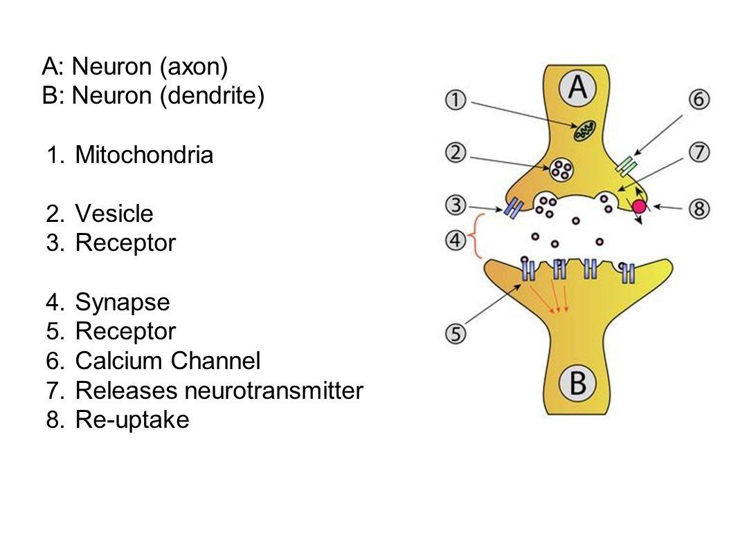A: Neuron (axon) B: Neuron (dendrite) Mitochondria. Vesicle. Receptor. Synapse. Calcium Channel.
