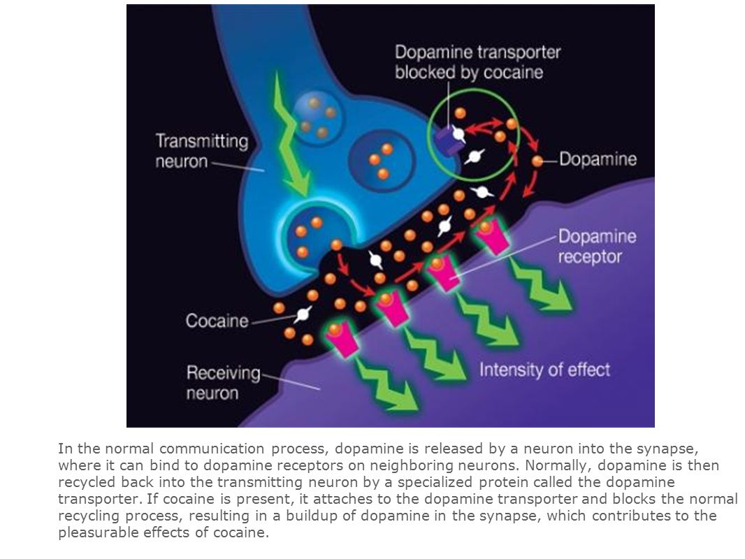 In the normal communication process, dopamine is released by a neuron into the synapse, where it can bind to dopamine receptors on neighboring neurons.