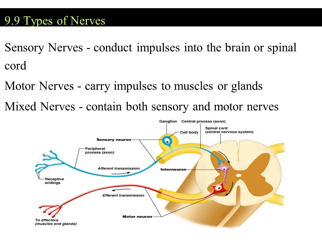 Sensory Nerves - conduct impulses into the brain or spinal cord