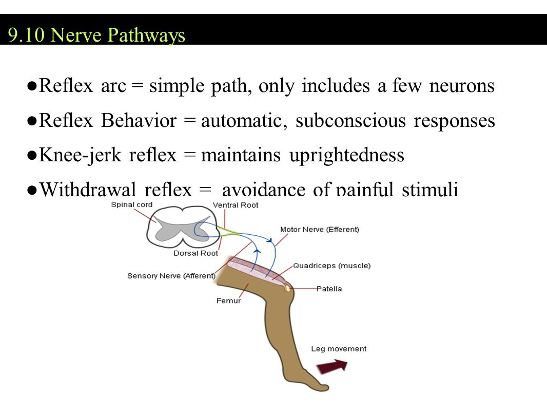 Reflex arc = simple path, only includes a few neurons