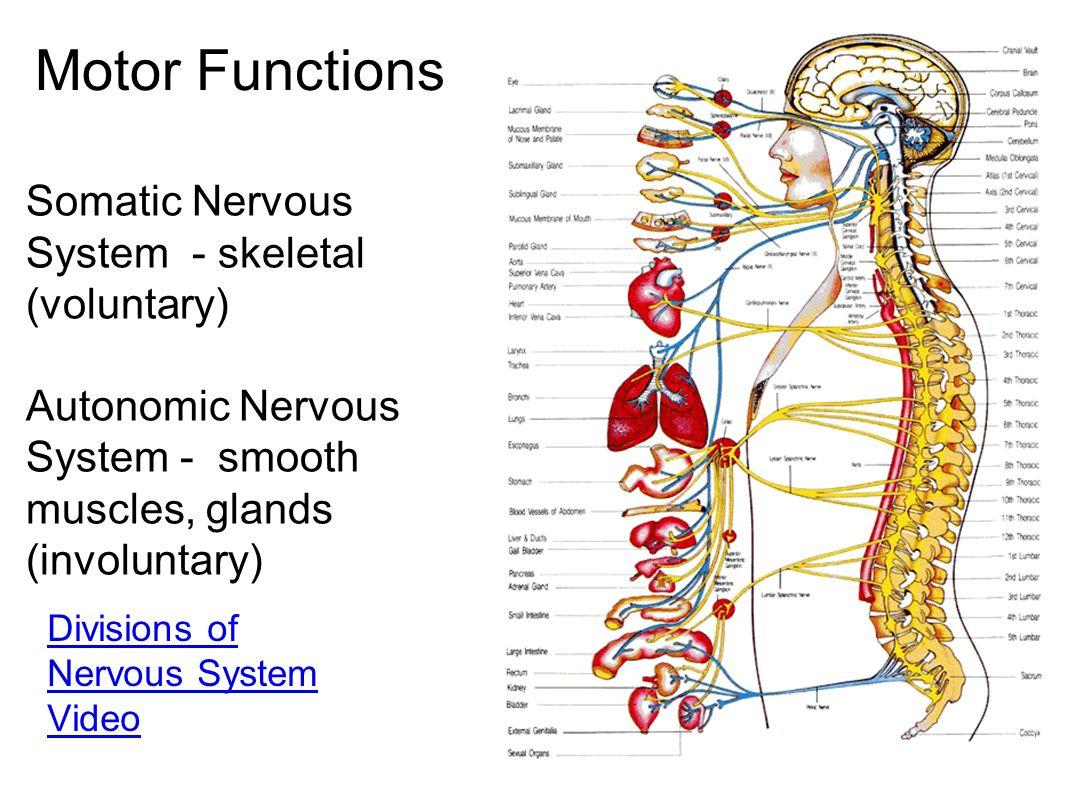 Motor Functions Somatic Nervous System - skeletal (voluntary)