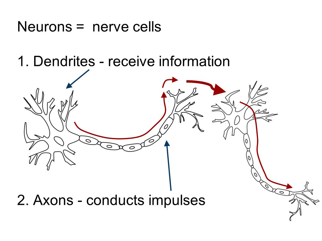 Neurons = nerve cells 1. Dendrites - receive information 2. Axons - conducts impulses