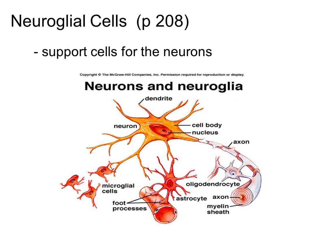 Neuroglial Cells (p 208) - support cells for the neurons