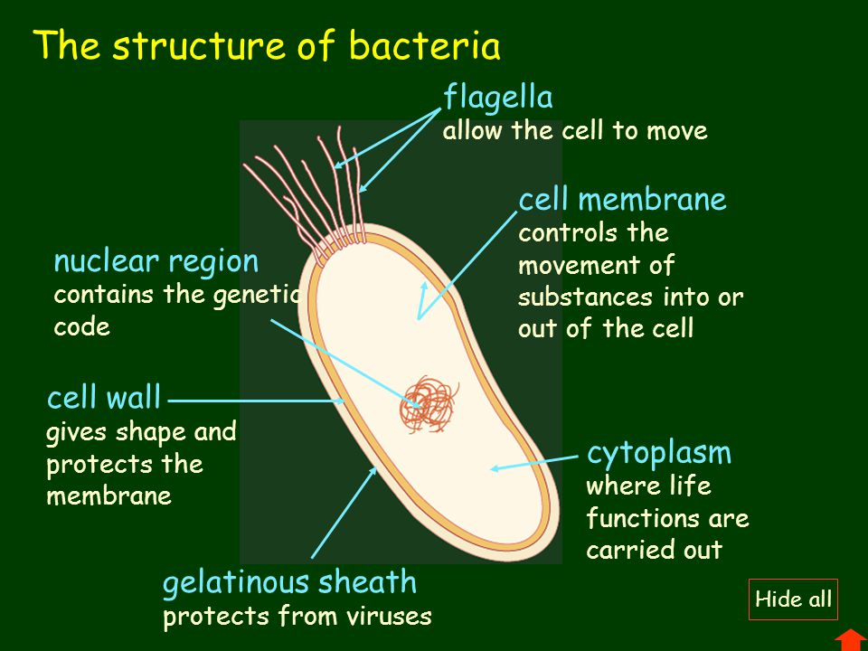 The structure of bacteria