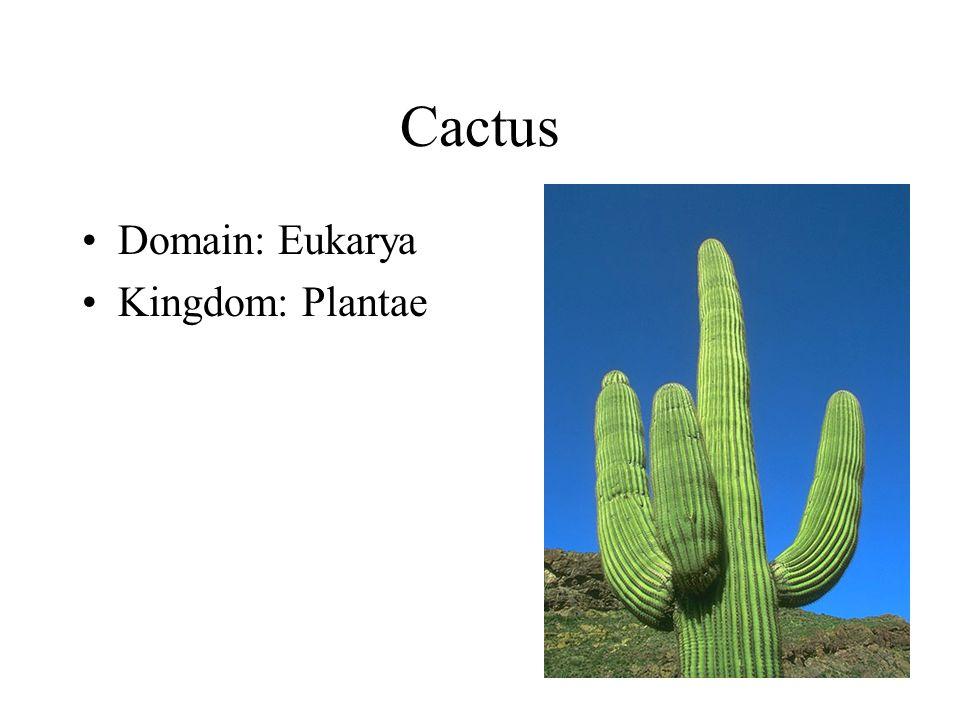 Cactus Domain: Eukarya Kingdom: Plantae