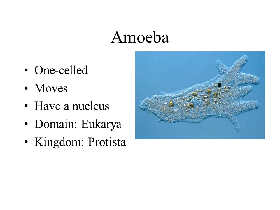 Amoeba One-celled Moves Have a nucleus Domain: Eukarya
